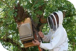 Récupération essaim abeille